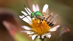 Close of up a metallic green sweat bee perched on a flower.