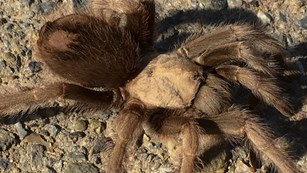Photo of furry brown legs and rounded body of a female desert tarantula.