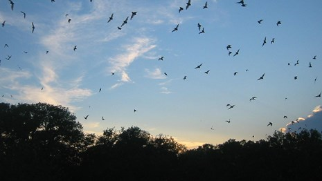 Bats flying through a blue sky over the silhouette of trees at dusk.