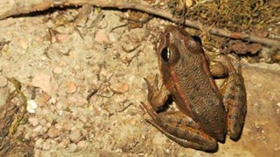 The Red Legged Frogs