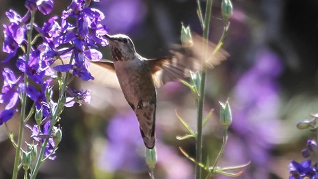 A mottled hummingbird sips from the blossoms a purple flower.