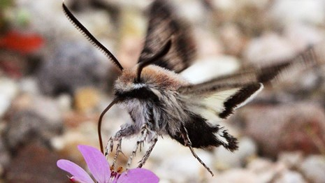 A species of sphinx moth sips nectar while hovering above a flower.