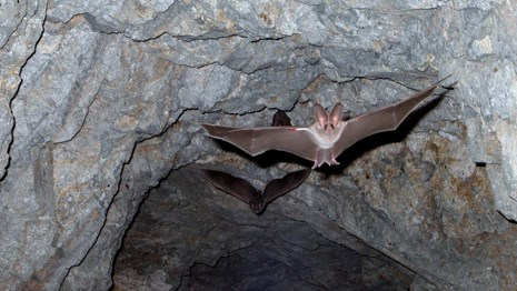 Bat flying with open wings in a cave.