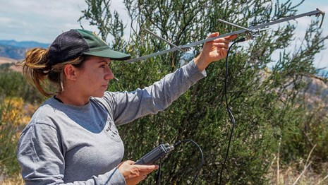 Biologist lifts metal device, scanning vegetated area for nearby condors.