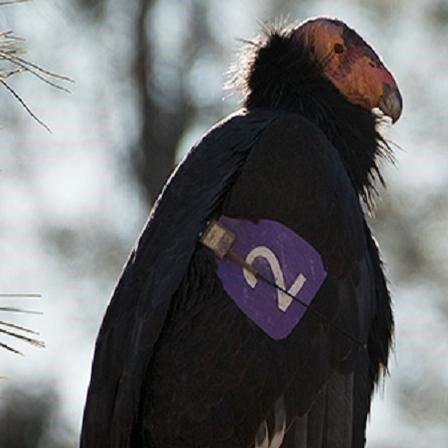 Condors with purple tags on their wings