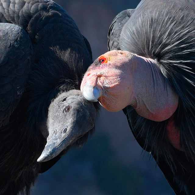 Two condors close up.
