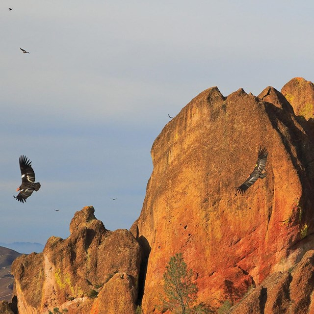Condors flying in the High Peaks.