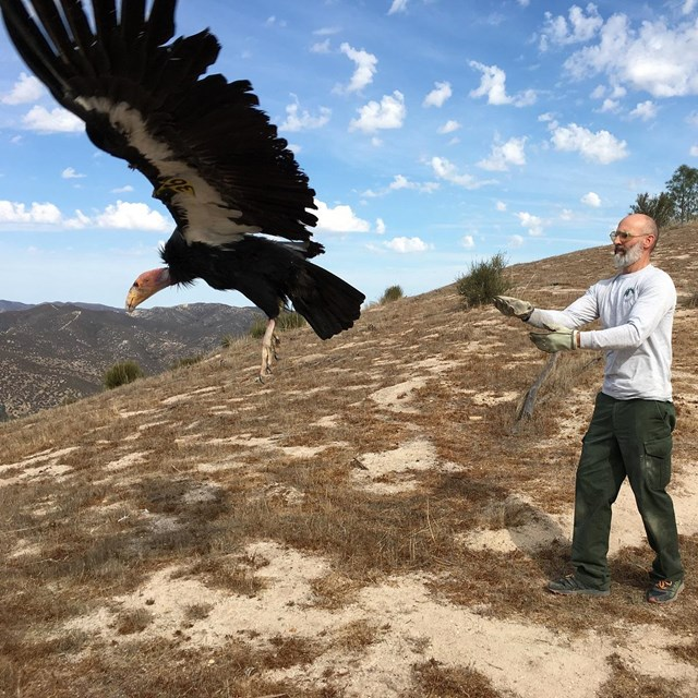 Condor biologist releases a condor after its checkup.