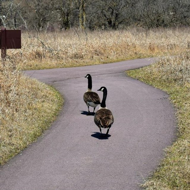 2 geese walking on a trail