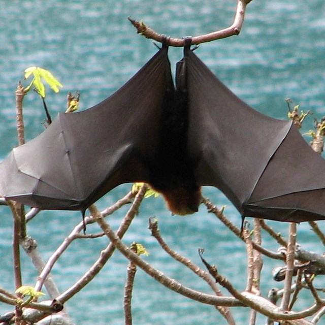 Bat with wings extended, hanging upside down from branch with water in background.