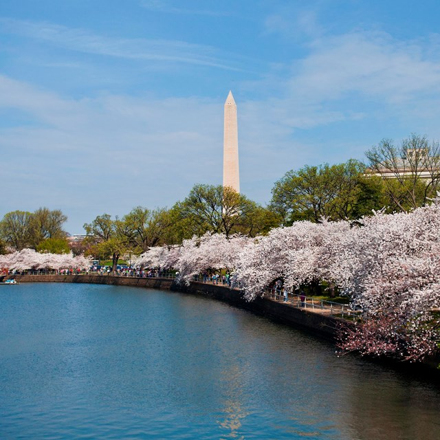 Cherry blossom trees lining the Tidal Basin towards the Washington Monument