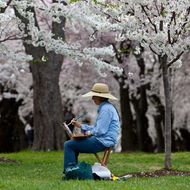 Painter sits on stool with easel under cherry blossoms