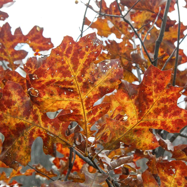 Closeup of bright orange and red leaves