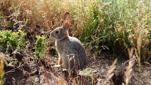 A rabbit sits, with ears erect, in shrubs and grass.