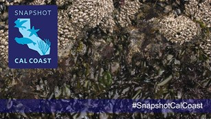 Acorn barnacles and seaweed with an overlaid logo and hashtag for Snapshot Cal Coast.