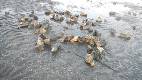 Loose live non-native oysters from Bed 17 in Drakes Estero. January 1, 2015.