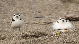 Two small white-breasted shorebirds on a sandy beach. Two chicks huddle under the bird on the right.
