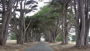 Wind-blown cypress trees lining a road leading to an art deco-style building.