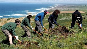 Five Habitat Restoration Program volunteers removing iceplant with hand tools.
