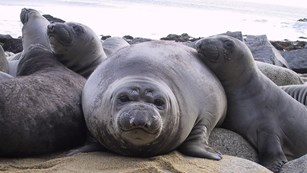 Weaned elephant seal pups, aka