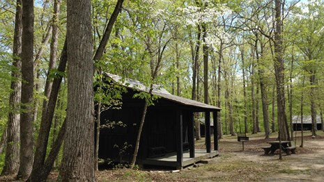 An historic cabin surrounded by blooming dogwood trees.