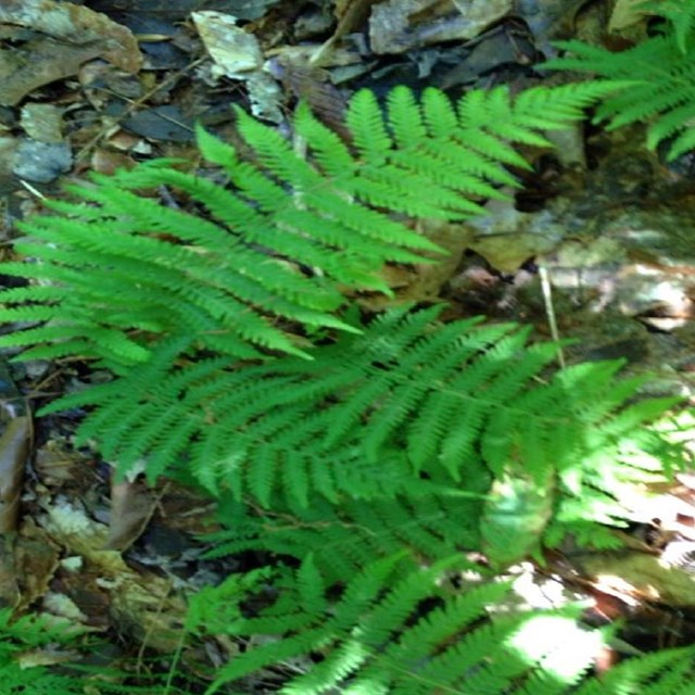 Bright green ferns on the forest floor