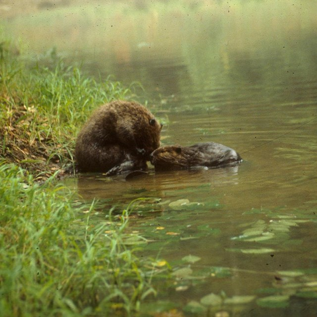 Two beavers cooling off in the water
