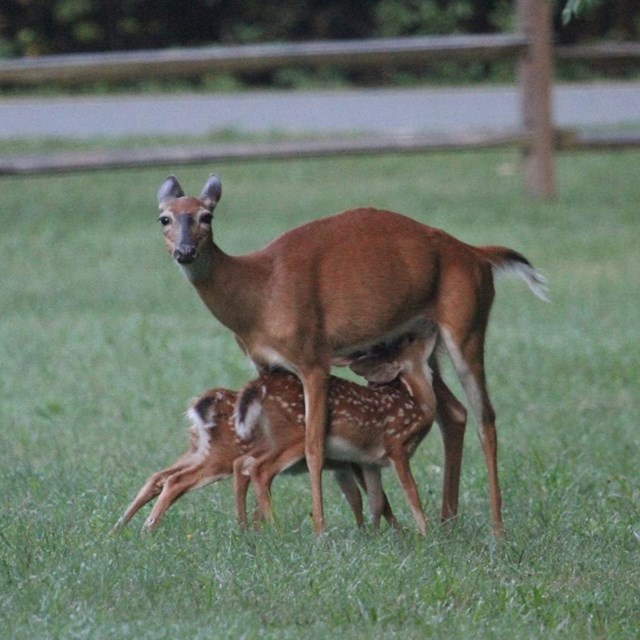 Two fawns standing under their protective mother