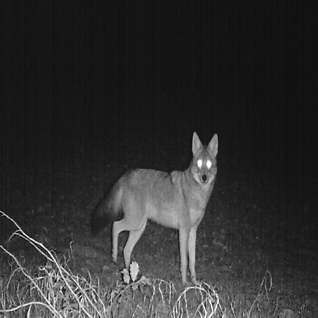 A glowing-eyed coyote walking in the forest at night time