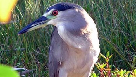 A night heron stands on the edge of a pond.