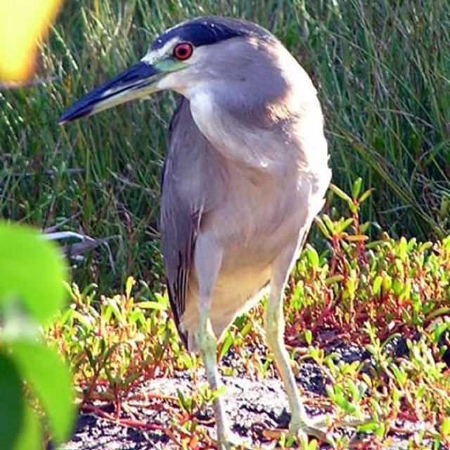 A Night Heron stands focused on the water's edge amidst coastal vegetation.
