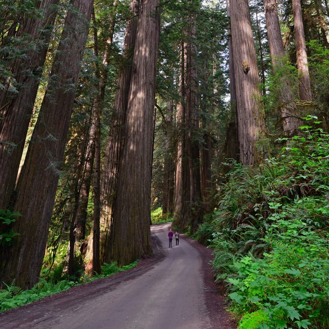 Seeing the Redwoods from the road is possible.