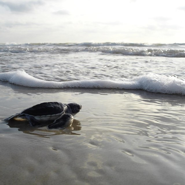 Green sea turtle hatchling faces the Gulf surf.