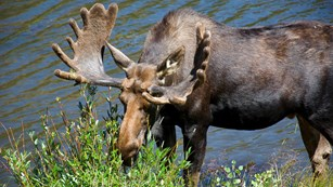 Bull moose at Lily Lake.