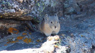 Pikas are small mammals related to the rabbit family.