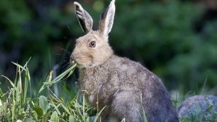 Snowshoe hares have large hind feet, long ears, short tails and a typical rabbit shape.