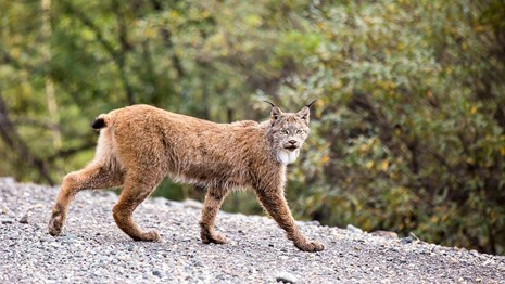 The Canada Lynx is threatened.