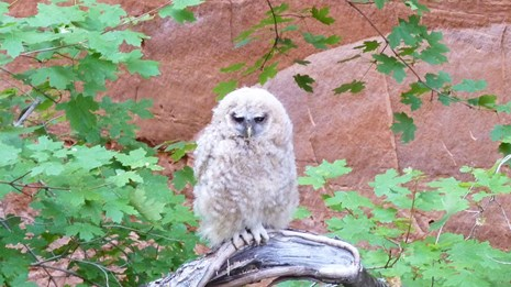 Mexican Spotted Owl is threatened.