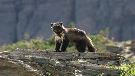 North American Wolverine is proposed threatened.