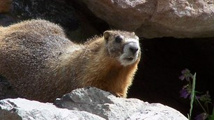 Yellow-bellied marmot on the rocks.