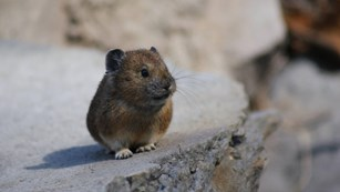 Pika scurry around rocks.