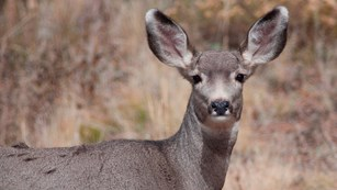 Mule Deer are usually found in small groups in the trees.