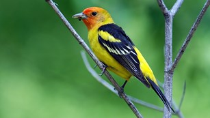 Western Tanagers breed in the park each summer and migrate south in the winter.