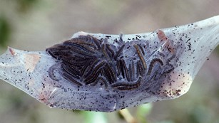 Insects like these tent caterpillars are plentiful in the montane.