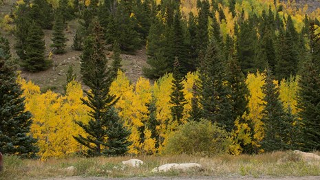 Golden aspens color the pine forest in RMNP.