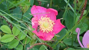 Honey bee on a rose