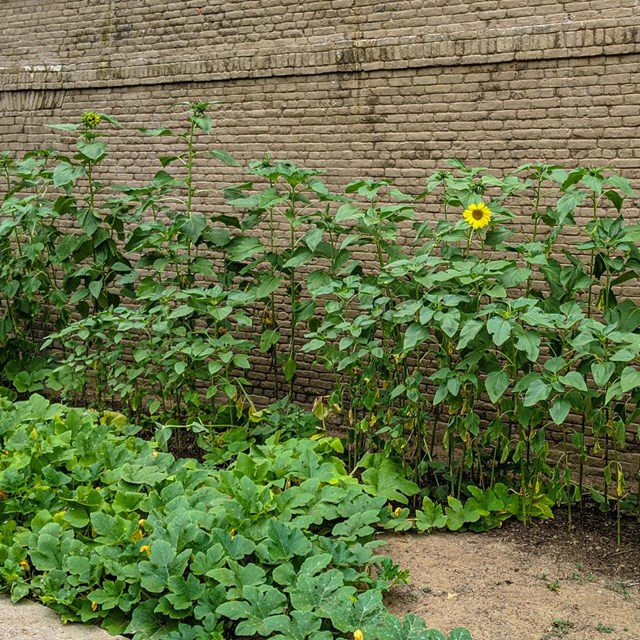 Side view of a full green garden with a few yellow sunflowers growing along a brick wall.