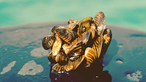 10 things about zebra mussels