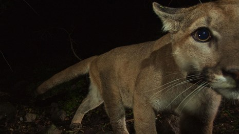 Mountain lion looking at camera