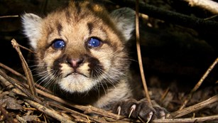 Mountain lion kitten resting in brush at night.